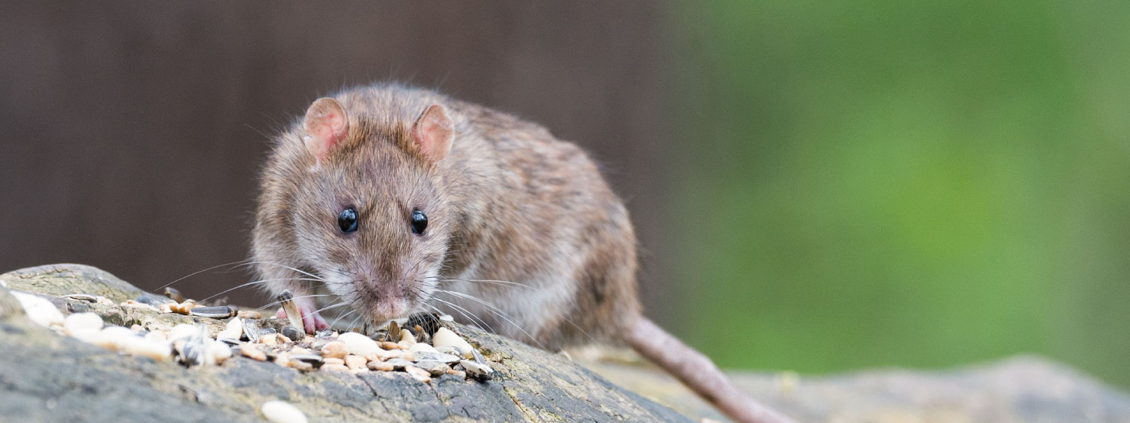 rat-exterminator-pest-control-reading